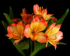 Free Parrot Lily Flower In Bloom Stock Photos - 15285783
