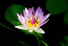 Free Lotus Stock Image - 15287231