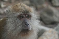 Free Long Tailed Macaque Stock Photo - 15287330