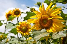 Free Sunflowers Stock Photos - 15287853