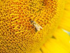 Free Sunflower And Bee Royalty Free Stock Image - 15288506