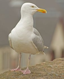 Free Seagull Portrait. Royalty Free Stock Images - 15289019