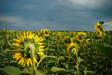 Free Sunflower Field Royalty Free Stock Photos - 15289188