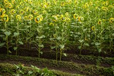 Free Sunflower Field Royalty Free Stock Image - 15289206