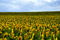 Free Field Of Sunflowers Stock Photo - 15292590
