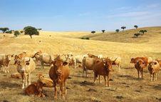 Cows In Alentejo Field. Stock Photos