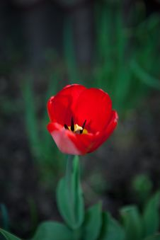 Free First Tulip Stock Photography - 15291542