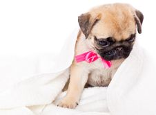 Free Puppy Of Pug In Towel Stock Image - 15291651