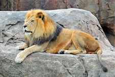 Free Lion On The Rock Stock Photography - 15291672