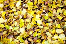 Free American Maple Leaves Stock Image - 15291821