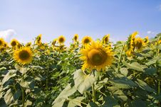 Free Sunflowers Stock Images - 15291974
