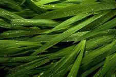 Raindrops On Ornamental Grass Royalty Free Stock Photo