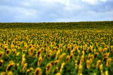 Free Field Of Sunflowers Stock Photo - 15292590