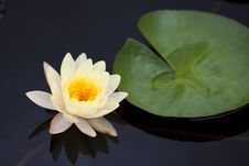 Yellow Water Lily Stock Images