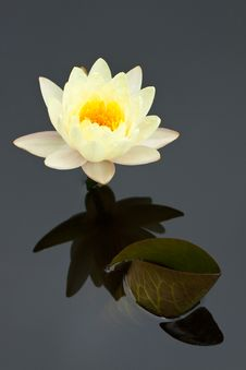 Free Yellow Water Lily Stock Photo - 15292840