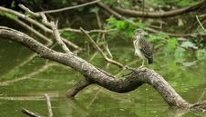 Free Black Crowned Night Heron Stock Photo - 15293490