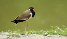 Red Wattled Lapwing Stock Photography