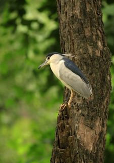 Black Crowned Night Heron Royalty Free Stock Images