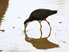 Free White-breasted Waterhen Royalty Free Stock Photos - 15295118