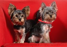 Two Puppes Yorkshire Terrier On The Red Royalty Free Stock Images