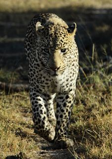 Free Leopard Stock Image - 15296121