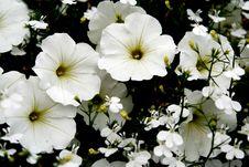 Beautiful White Zinnias Flowers Royalty Free Stock Photos