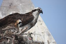 Free Osprey And Chick Royalty Free Stock Image - 15297636