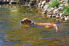 Free Boxer Mix Dog Swimming Royalty Free Stock Photo - 15297795