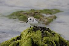 Free Sanderling Royalty Free Stock Images - 15297979