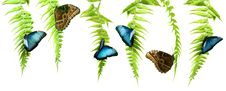 Free Blue Morpho Butterflies Royalty Free Stock Photo - 15298115