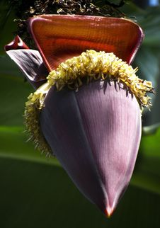 Free Banana Flower Stock Photos - 15298163