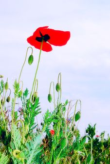 Free BLUE SKY And POPPY Royalty Free Stock Photo - 15298285