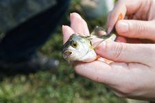 Free Fish Gudgeon Royalty Free Stock Photo - 15298995