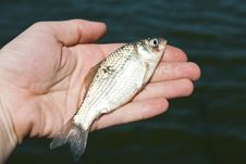 Free Fish Gudgeon Royalty Free Stock Photography - 15299007