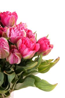 Free Pink Tulips Stock Photo - 15299480
