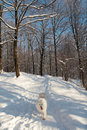 Free Samoed In Winter Forest Royalty Free Stock Images - 1534319