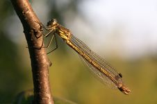 Free Damselfly Royalty Free Stock Photography - 1530407