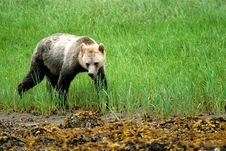 Free Grizzly Bear Stock Photography - 1531652
