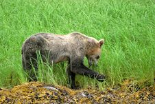 Free Grizzly Bear Stock Photos - 1531913