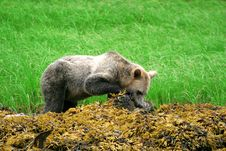 Free Grizzly Bear Stock Images - 1532034