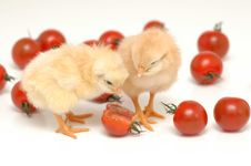 Free Chickens Eating Royalty Free Stock Image - 1532256