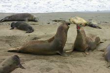 Fighting Elephant Seals Stock Photo