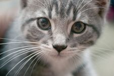 Free Kitten Stock Photography - 1533772