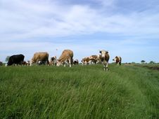 Free Milch Cows 3 Stock Image - 1534251