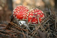 Free Two Toadstools Royalty Free Stock Photo - 1534925