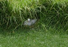 Nesting Seagull Stock Image