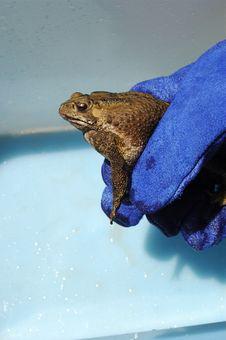 Free Poisonous Cane Toad Stock Photos - 1537583