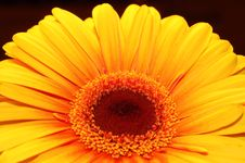 Free Orange Daisy Royalty Free Stock Image - 1537976