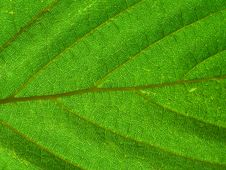 Free Leaf Texture Stock Images - 1538654