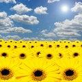 Free Yellow Gerber Daisy Royalty Free Stock Photos - 15308008